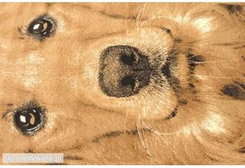 Piękny wzór psa Labradora.